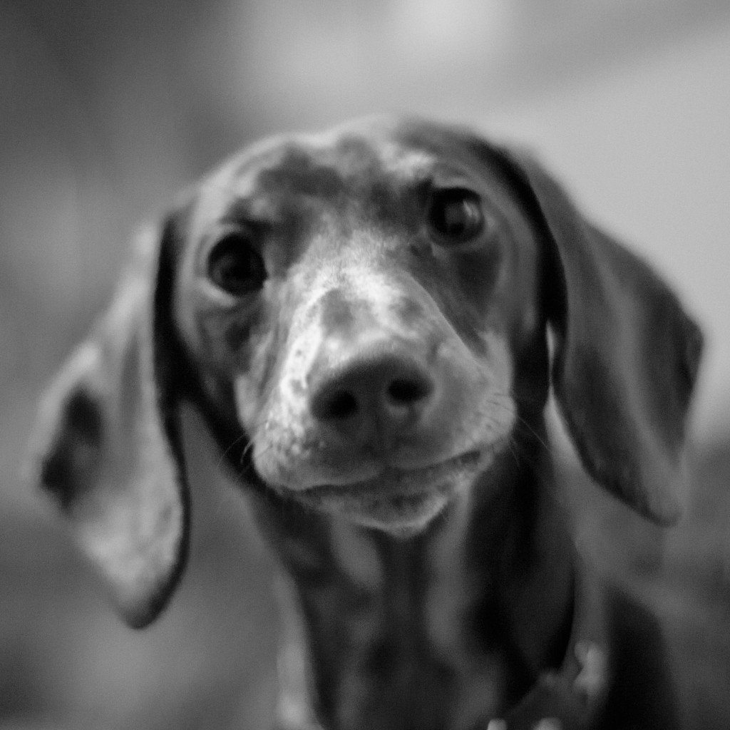 Sausage Dog Close-Up